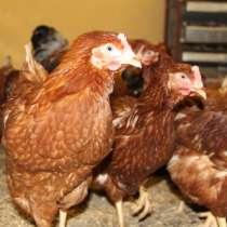 Курица к дому индюки, утки, гуси, бройлеры петушок в ПОДАРОК, в Балахне