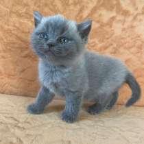 Кошка британка, в Томске
