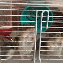 Джунгарские хомячки, в Котласе