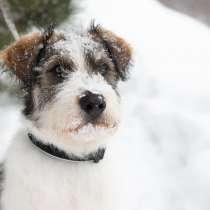 Очаровательный бородатый щенок Арчи от мамы лабрадора, в Москве