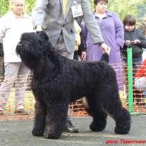Русский черный терьер, щенки, в Екатеринбурге