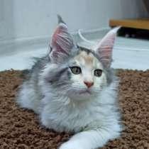 Продам котенка мэй кун, в г.Брест