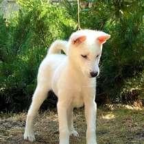 Щенки Японской собаки Кисю, в Иркутске