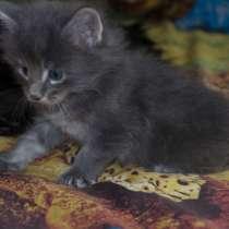 Бронь на котёнка Мэйн-кун, в Екатеринбурге