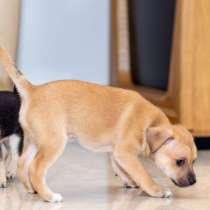 Продаються щенки мексиканская голоя, в г.Беэр-Шева
