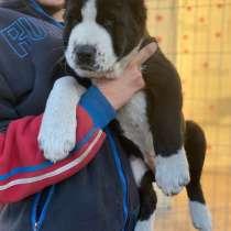 Продаются щенки Алабая, в Тольятти