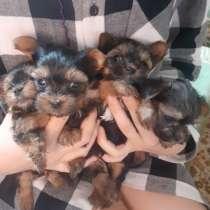 Продаю мини йорков щенки, в Люберцы