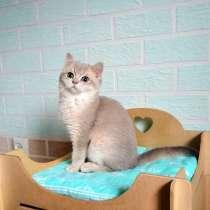 На продажу милый котенок. Порода британская (BSH), в г.Вроцлав
