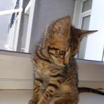 Подоём Бенгальского котика мальчика, в г.Рига