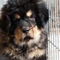 Тибетского мастифа щенков продаю, в Всеволожске