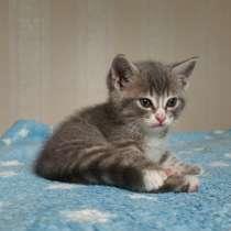 Британские котята, в Геленджике