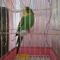 Продам попугая, в г.Степногорск