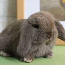 Вислоухий декоративный кролик, в Ессентуках