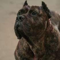 Продаю чистокровного щенка Питбуля, в г.Бишкек