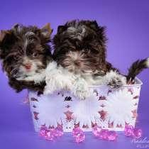 Бивер Биро Шоколадный Йорк щенки, в Москве