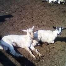Козы, козлы, в Барнауле