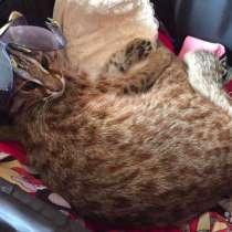 Азиатский котенок кошка, в Москве