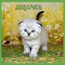Голубоглазые шотландские котята, в Москве