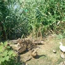 Утки подсадные, в Темрюке