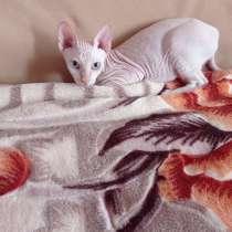 Кот сфинкс, в Орле