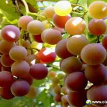 Виноград Лидия Розовая ягоды 50 - 100 кг. или 100% сок, в г.Луганск