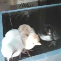 Продам цыплят, в Новосибирске