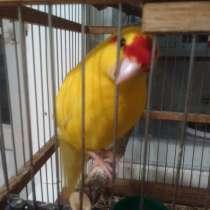 Продам попугая какарика, в Пензе