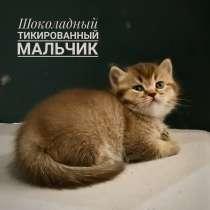 Британские котята, в Таганроге