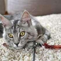 Котята мейн-кун из питомника, в г.Луганск