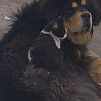 Щенки тибетского мастифа, в Волгограде
