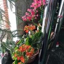 Каланхоэ цветущий, в Тюмени