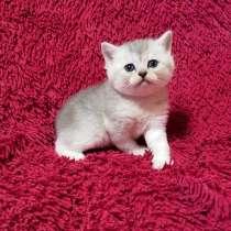 Продам шотландского котенка, в г.Доброполье