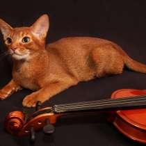 Абиссинский котенок (мальчик соррель 4 мес), в г.Гомель