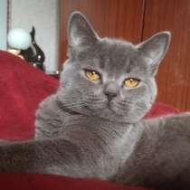 Шотландские котята, в г.Мелитополь
