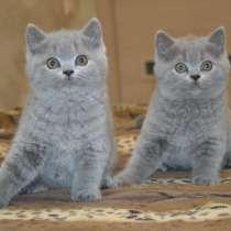 Котят британской короткошерстной, в Хабаровске