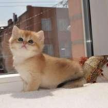 Британские котята золотая шиншилла, в Ростове-на-Дону