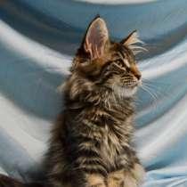 Котята мейн-кун из питомника, в Челябинске