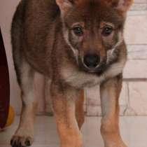 Чехословацкая волчья собака – щенки 2 месяца, девочка, в Ставрополе