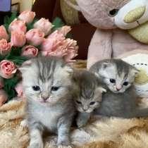 Британские вислоухие котятки, в Брянске