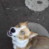 Продам собаку с голубыми глазами, в г.Мюнхен