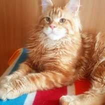 Красные мраморные котята, возможно в разведение, в Перми