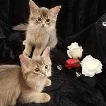 Somali kitten, в г.Вентспилс