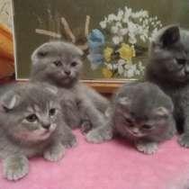 Шотландские вислоухие котята красивой расцветки, в Волхове