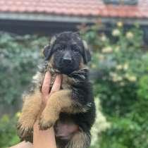 Продам щенков немецкой овчарки, в г.Херсон