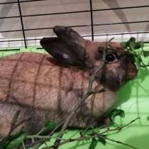 Декоративный кролик, в Домодедове