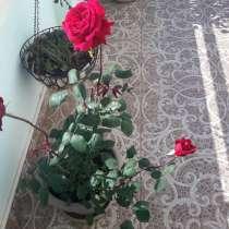 Продам розы цветущие, в г.Торревьеха
