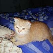 Продам британских котят, в Лысьве
