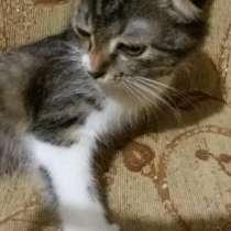 Продам красивых котят вислоухой шотландской кошки, в Москве