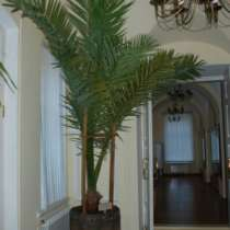 пальма финиковая, в Минусинске