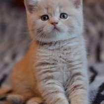 Шотландские котята, в Саратове